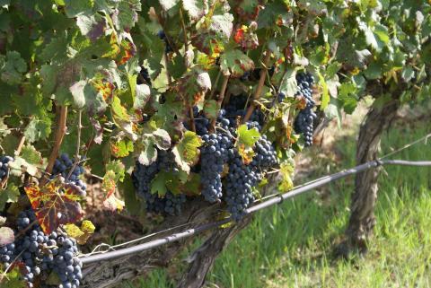 Druivenranken bij agriturismo Borgo Caterina